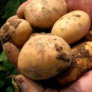 Mit Vitamin C kann die Kartoffel nur wenig glänzen.