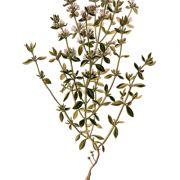 Der Thymian ist bei uns hauptsächlich als Gewürz bekannt. Er ist jedoch auch eine Heilpflanze und eignet sich wegen seiner antiseptischen Wirkung zur Behandlung von Husten, Bronchitis und Asthma.