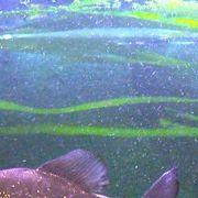 Die Piranhas dürften der Platte, im Gegensatz zum Taucher, egal sein. Nur das Wasser ist für den Speicher gefährlich. Wir können unter Laborbedingungen die Platte säubern und die Daten durch forensische Tiefenscans auslesen, Fehler beheben und die