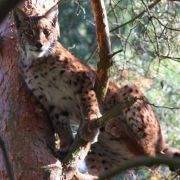 100 Euro Prämie verspricht der Naturschutzbund Nabu für jeden im Schwarzwald gesichteten Luchs.