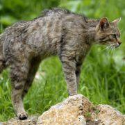 Die Wildkatzen ist im Gegensatz zur Hauskatze eigentlich heimisch in Deutschland, allerdings extrem dezimiert in ihrem Bestand.