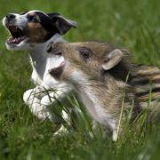 Frischling Schnitzel wächst mit Hunden auf.