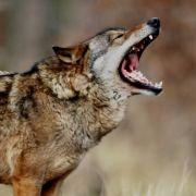 Es gibt wieder Wölfe in Deutschland.