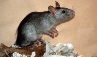 Versuch an Ratten: Penis-Salbe steigert Erektionsfähigkeit (Foto)