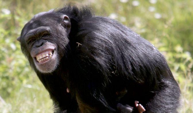 Schimpanse lacht (Foto)