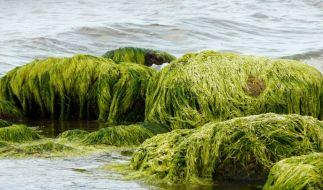 Algen (Foto)
