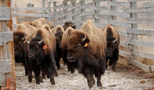 Bisons (Foto)