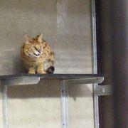 In einer 20 Quadratmeter großen Zelle muss er ausharren, bis sein Gehege im Gondwanaland fertig ist.
