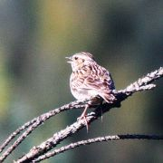 Die Heidelerche trägt ihren melodischen Gesang überwiegend fliegend vor - seltener und dann kürzer vom Boden oder von Warten aus. Der Vogel trällert weich und melodisch.