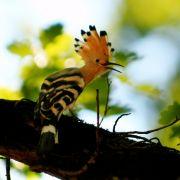 Charakteristisch für den Wiedehopf sind die kontrastreich schwarz-weiß gebänderten Flügel mit gelben Einschlüssen, der lange, gebogene Schnabel und  natürlich die Federhaube, die dem lustigen Gesellen das Aussehen eines Punkers verleiht.