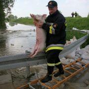 Die Evakuierung ist schweißtreibend. Ein Feuerwehrmann rettet gerade ein Schwein aus dem Krisengebiet.