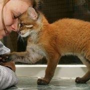 Auch die asiatische Goldkatze ist eine Wildkatze. Um die Abstimmungslinie der Hauskatze zu verfolgen, verglichen Forscher das Erbgut von 1000 verschiedenen Katzen aus der ganzen Welt.