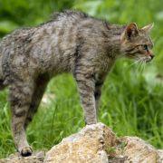 Nicht, wie allgemein angenommen, aus Ägypten. Eher hat wohl die Wildkatze ihre Gene im Spiel.