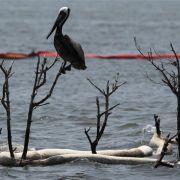 Die Braunpelikane sind Louisianas Wappentier. Und ihre Gelege vom Öl schwer gefährdet.