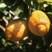 Einfach Zitronensaft auf den Stich träufeln und der Juckreiz wird durch die Säure neutralisiert.