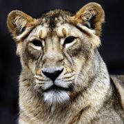 Und während ein Großwildjäger von der Löwentrophäe träumt...