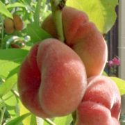 August: Was fehlt noch im Sortiment? Pfirsiche und Nektarinen! Die dickeren Bälle lassen sich bis August Zeit mit ihrer Reife. Auch Melonen erfrischen jetzt die heißen Hochsommertage. Zudem sind Auberginen, Paprika, Chinakohl und Pastinaken reif.