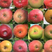 Februar: Auch im Februar muss man sich noch beim Lagerobst- und Gemüse bedienen, richtig reif sind Äpfel - ebenso wie Birnen - ab August. Dafür geht die Saison für die Wintergemüse Chicoree und Grünkohl jetzt langsam dem Ende zu.