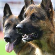 Großen, schweren und schnellwüchsigen Hunderassen wie zum Beispiel Schäferhunden oder Boxer macht häufig eine schmerzhafte Lahmheit zu schaffen.