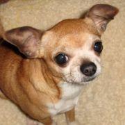 Bei Chihuahuas mit ausgeprägtem Vorbiss kann der Zahnschluss so mangelhaft sein, dass das Gebiss nicht richtig funktioniert.