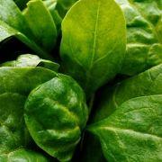 März:Als tiefgefrorene Variante ist er natürlich immer zu haben, doch für frischen Spinat beginnt die Saison im März.