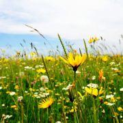 Diese Pflanzen auf dieser Bergwiese im Schwarzwald freuen sich über den Sommer. Die Wiese steht in voller Blüte.