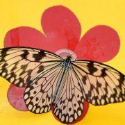 Beim Schmetterling kniet er zwischen ihren Beinen und sie bewegt ihr Becken aufwärts. Gern dabei genommen: Die Beine auf seinen Schultern ablegen können.