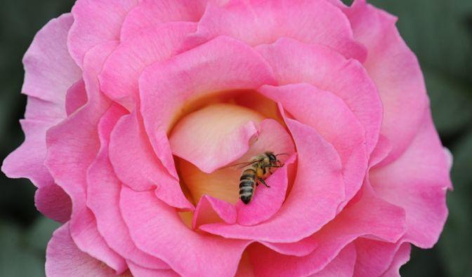 Eine leuchtend pinkfarbene Edelrose mit Gelbton in der Blütenmitte ist beim Internationalen Rosenneuheitenwettbewerb zur schönsten Rose des Landes gekürt worden.