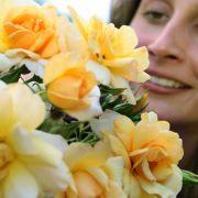 In freundlichem Gelb erstrahlt die Alix de Vergy, die Rosenfreunde 2007 in Baden-Baden zur Schönheitskönigin kürten.