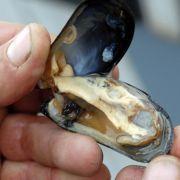 Eine Lebensmittelvergiftung nach dem Konsum von Muscheln, beispielsweise von Miesmuscheln und Austern ist besonders gefährlich.