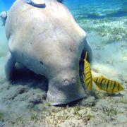 Auch ein Dugong ist ein seltsamer Anblick. Das Meeresschwin lebt an den Künsten des Indischen Ozeans und in Teilen des Westpazifiks.