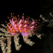 Eine Schnecke stellt sich der Laie anders vor als dieses kuriose Exemplar: Die Violette Fadenschnecke, die überwiegend im Mittelmeer vorkommt, erinnert eher an eine exotische Blüte.
