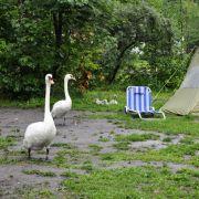 Wenn die Menschen die Flucht ergreifen, erobern die Schwäne das Seeufer zurück. Sogar ihre Brut haben sie hier untergebracht.