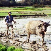 Die Erträge auf den Reisfeldern in Asien sinken. Schuld daran sind die steigenden Temperaturen wegen des Klimawandels.
