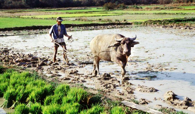 Reisbauer in Asien (Foto)