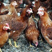 Unter anderem Hühnerfleischreste. Nachdem die Europäer nur noch Brust und Keule wollten, haben die Fleischhersteller in Kamerun und anderen Ländern Abnehmer für den Fleischrest gefunden, dank der Unterstützung der EU.
