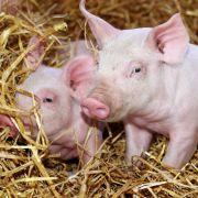 Süße Schweine bekommen bestes Energie-Futter. Und das gedeiht auf den Ackerflächen in Afrika und Südamerika. Riesige Soja- und Getreidefelder dort sind nur dazu da, um die Fleischeslust in den Industrieländern stillen zu können. Der Schweizer Soziologe Je
