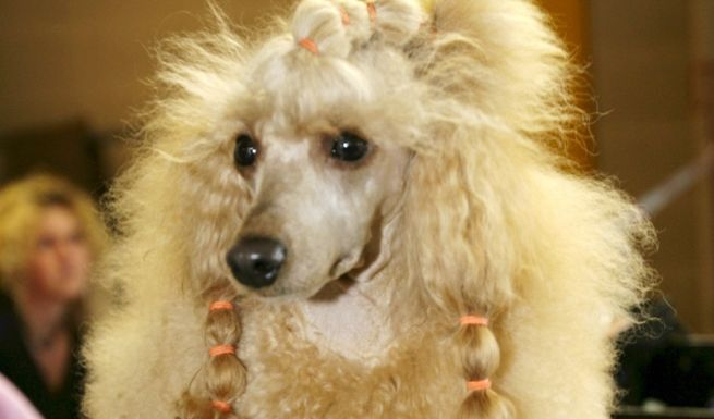 Die Beziehung Mensch-Hund ist ein sensibles Konstrukt. Mit unseren Vorschlägen liegen die Promis aber garantiert richtig. Raten Sie mal:Welchem Promi würden Sie dieses possierliche Tierchen zuordnen? Kleiner Tipp: Es ist ein It-Dog.