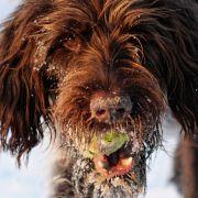 Ein verspielter Jagdhund mit vom Spielen verzotteltem Haar. Und dieser Blick...