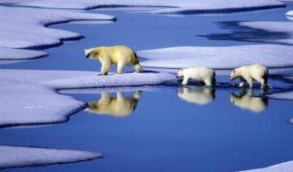 Eisbären in der Arktis (Foto)