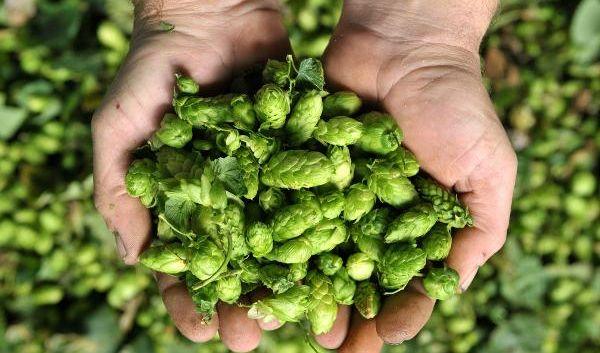 Nicht nur gut fürs Bier: Hopfen lindert Wechseljahresbeschwerden.