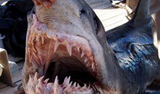 Blick ins Maul eines vor Scharm al-Scheich in Ägypten gefangenen Hais. (Foto)