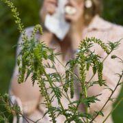 Auch Beifuß kann Pollenallergikern Probleme machen.