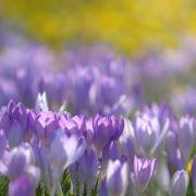 Bei Allergie Tulpen statt Krokusse pflanzen