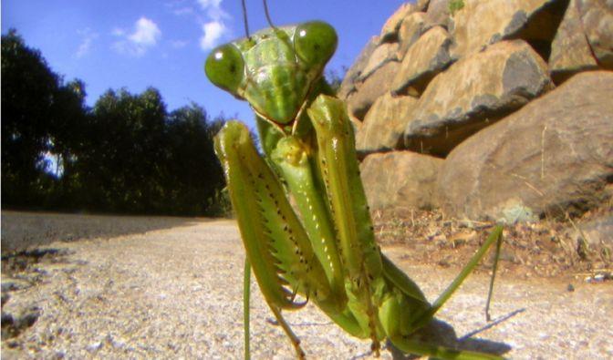 Im Tierreich herrscht Hunger auf Artgenossen: Die wohl populärste Kannibalen-Art ist die Gottesanbeterin. Die weiblichen Exemplare dieser Insektenart beginnen, noch während der Paarung das kleinere Männchen zu verspeisen.