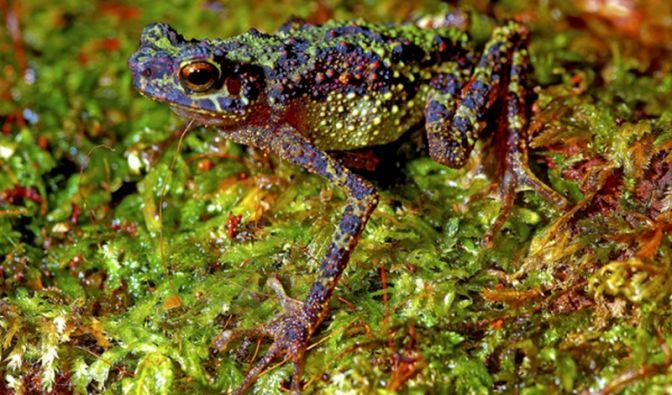 Was für ein verrücktes Tier - und wir hatten es schon verloren geglaubt! Wissenschaftler haben in Malaysia ein Exemplar dieser Regenbogen- oder auch Samba-Streifen-Kröte entdeckt.