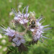 Mögen Schnecken überhaupt nicht: Phacelia oder auch Büschelschön, das wegen seiner Attraktivität auf Insekten auch Bienenweide genannt wird.