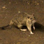 Es gibt Dinge auf dieser Welt, die kann man kaum mögen. Ratten beispielsweise. Rattenfänger begeben sich täglich auf die Suche nach den kleinen Krankheitsüberträgern. Mit Knüppel und Messer sind sie auf der Jagd - und bekommen für die Suche in stinkenden