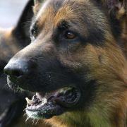 Schäferhund rettet Herrchen aus Feuer - und stirbt selbst (Foto)