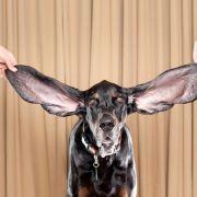 Der Deutsche ist ein strenger Mensch. Wahrscheinlich haben die Spanier deshalb auch die Befehle für ihre Hunde aus der deutschen Sprache entnommen. «Fuss», «platz», «sitz», «voraus» und «hier» schallt es über spanische Wiesen und Weiden.